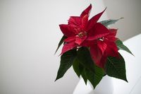 christmas flower red Poinsettia in the pot on light backround