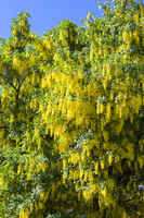 typical yellow laburnum