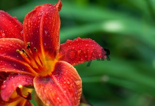 Red lily flower with water drops at sun summer day