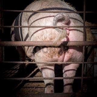 Pig ass
