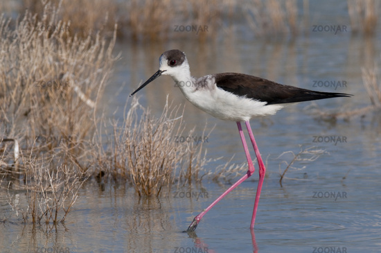 Stelzenlufer (Himantopus himantopus) - Black winged Stilt