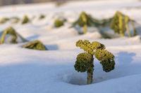 Grüner Spargel im Schnee - Brokkoli im Winter