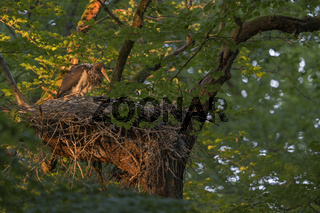 im Abendlicht... Schwarzstorch *Ciconia nigra*, Jungstorch auf dem Nest