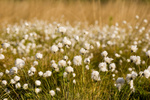 Scheiden-Wollgras im Moor