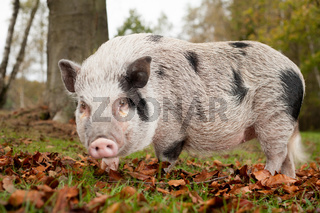 Little pig in the autumn