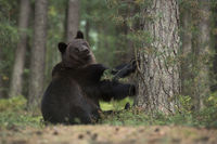 ziemlich verspielt... Europäischer Braunbär *Ursus arctos*