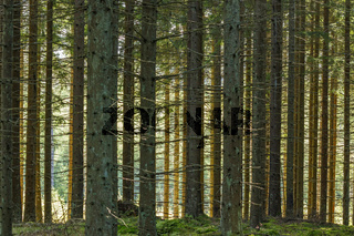 Coniferous forest with sunlight shines through the trees