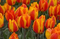 Orangefarbene Tulpen auf einem Tulpenenfeld, Bollenstreek, Niederlande