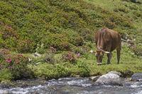 Kuh auf einer Almwiese in den Stubaier Alpen