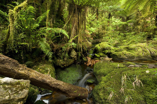 Bach im Regenwald, ein kleiner Bach fliesst ueber moosbedeckte Felsen durch ueppigen mit Farnen durchzogenen gemaessigten Regenwald, parara-Becken, Karamea, Westkueste, Suedinsel, Neuseeland brook in rainforest, small creek flowing over moss-covered rocks