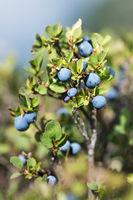 Heidelbeeren (Blaubeeren), Haute-Nendaz, Wallis, Schweiz
