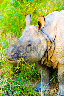 One Horned Indian Rhinoceros Head Eating Grass