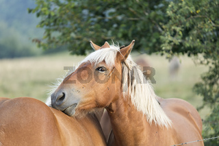 Horses photographed closely