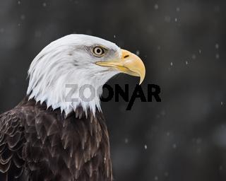 Bald Eagle in Snow II