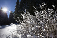 Snow-covered bush and blue sky with sun in winter spruce forest