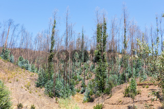 Burned and recovering eucalyptus trees in Portugal
