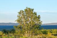 Birch tree in a wilderness view