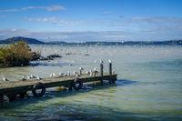 Seagulls on wooden pier, Rotorua lake , New Zealand