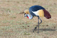 Crowned Crane on the savannah