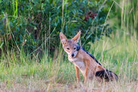 Black-backed Jackal sit scouts