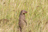 Banded mongoose standing up in the grass and scouts