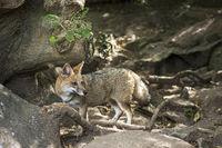 Fox 'zorro pampa' or 'zorro gris' in Maldonado, Uruguay