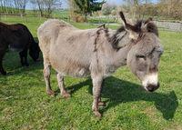 Grauesel, Esel; Equus, asinus