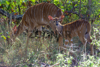 A nyala in the Kruger National Park South Africa