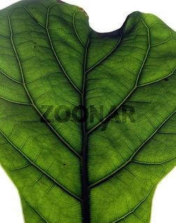 Blatt einer Pflanze- Detail