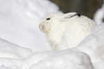 Schneehase (Lepus timidus) 
