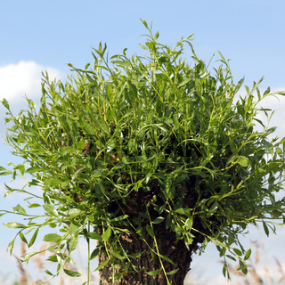 Austreibende Korbweide im Frühling, Salix viminalis