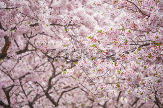 Blooming sakura cherry blossom