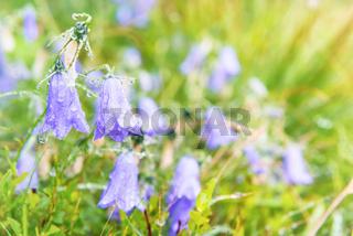 Wet blue flowers bluebell