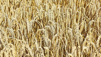 Weizenfeld vor der Ernte