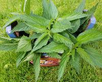 Brennnessel, Urtica, Dioica, Heilpflanze