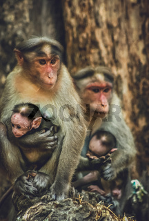 A wild macaque monkey family