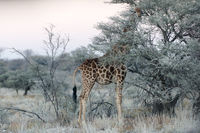 Close view of Namibian giraffe eating thin green leaves