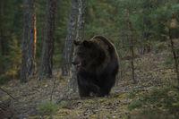 unterwegs... Europäischer Braunbär *Ursus arctos*