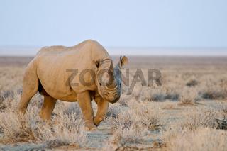 Spitzmaulnashorn, Schwarze Nashorn (Diceros bicornis), Etosha National Park, Namibia, Afrika, Black Rhinoceros or Black Rhino, Africa