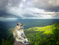 Monkey at the Gorges viewpoint. Mauritius.