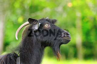 black bearded ram portrait over green out of focus colorful background
