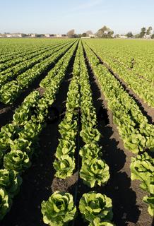 Urban Crop Field Perfect Green Produce Leaf Lettuce