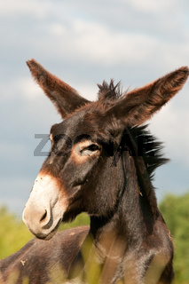 Grossesel_donkey