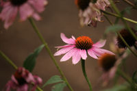 Purple Coneflower  Echinacea purpurea