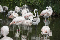 Flamingos have arrived in San Climente, Buenos-Aires state, Argentina