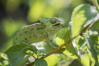Europaeisches Chamaeleon ,Chamaeleo chamaeleon, Common Chameleon
