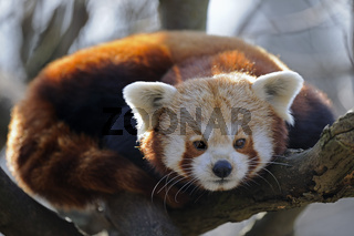 kleiner Panda, roter Panda, Katzenbaer (Ailurus fulgens)