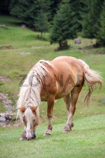 Bay horse grazing grass