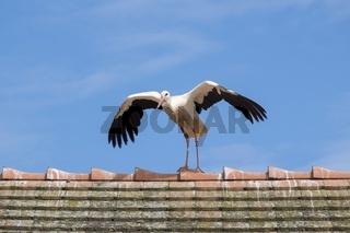 Weißstorch auf einem Hausdach