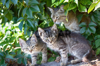 Cat and kittens ordinary breed